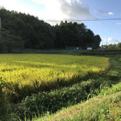 鹿島大神宮前の田んぼ
